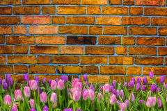 Tulip on vintage brick background and space Royalty Free Stock Photo