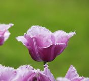 Tulip violet on the green ground Stock Images