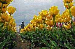 Free Tulip Walk Stock Image - 31579061