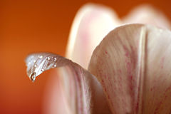 Tulip with Water Drop Stock Photo