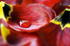 Tulip with water drop Stock Images