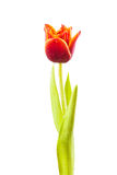 Tulip with water droplets Stock Photo