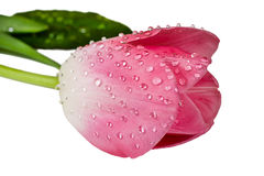 Tulip with water drops Stock Image