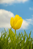 Tulip and water drops royalty free stock images