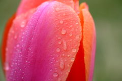 Tulip with water drops Stock Photo