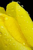 Tulip with water drops Royalty Free Stock Photos