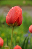 Tulip with water drops Stock Images