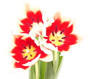 Tulip on a white background Royalty Free Stock Photo
