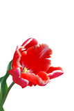 Tulip on white background Royalty Free Stock Images