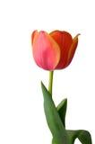 Tulip on white background Stock Photo