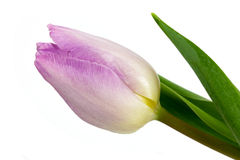 Tulip on a white background! Royalty Free Stock Images