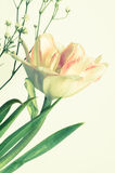 Tulip on white background Royalty Free Stock Photography