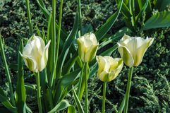 Tulip white-green colors Royalty Free Stock Images