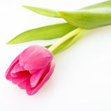 Tulip on white with space for text Stock Photos
