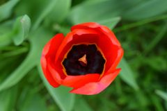 Tulip stock photos