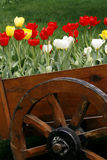Tulip by the wooden cask. In the nursery Royalty Free Stock Image