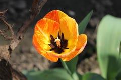 Tulip. Yellow tulip in bloom in the garden Stock Photos