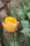 Tulip. Yellow tulip in bloom in the garden Stock Photo