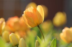 Tulip, Yellow, Bright, Spring Royalty Free Stock Photo