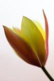 Tulip. Yellow tulip closeup view on white background Stock Photo