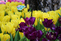 Tulip. Yellow and purple tulip in the garden Royalty Free Stock Images