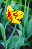 Tulip. Yellow and red tulip in the garden Royalty Free Stock Photos