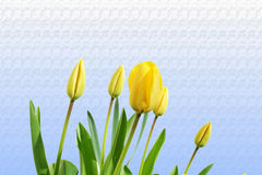Tulip yellow spring flower closeup on  sky blue  background Stock Photos