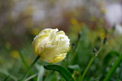 The tulip Royalty Free Stock Photo