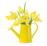 Tulip in a yellow watering can Royalty Free Stock Image