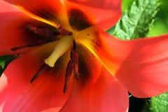 Tulipa - κινηματογράφηση σε πρώτο πλάνο στοκ εικόνα