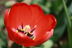 Tulipa, τουλίπα, κόκκινη τουλίπα πλήρους άνθισης Στοκ Εικόνες