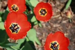 Tulipa, τουλίπα, κόκκινη τουλίπα πλήρους άνθισης Στοκ εικόνες με δικαίωμα ελεύθερης χρήσης