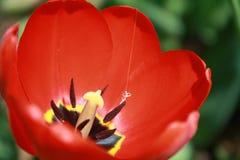 Tulipa, τουλίπα, κόκκινη τουλίπα πλήρους άνθισης Στοκ εικόνα με δικαίωμα ελεύθερης χρήσης