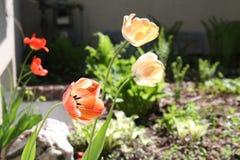 Tulipa, τουλίπα, κόκκινη τουλίπα πλήρους άνθισης Στοκ Φωτογραφία