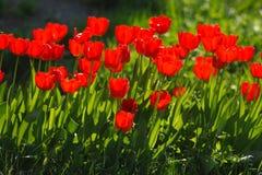tulipa τουλιπών στοκ φωτογραφίες