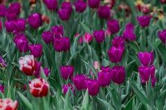Tulipa можно вырасти в специфических зонах с холодом только стоковое изображение
