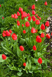 Tulipa Stock Image