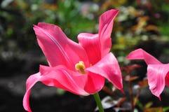 Tulipa Imagem de Stock Royalty Free