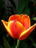 Tulipa Imagens de Stock