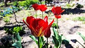 Tulipa Imagens de Stock Royalty Free