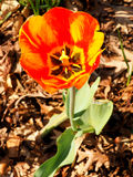 Tulipa Foto de Stock
