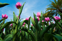 Tulipa Στοκ Φωτογραφία