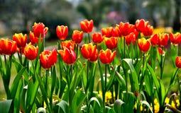 A tulipa Fotografia de Stock
