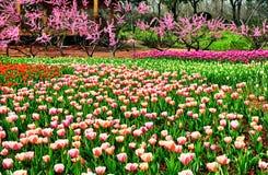 A tulipa Imagem de Stock Royalty Free