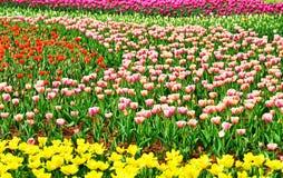 A tulipa Foto de Stock
