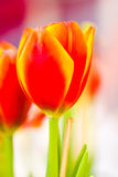 Tulipa foto de stock royalty free