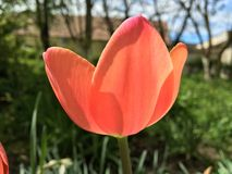 Tulipa Fotos de Stock Royalty Free