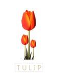 Tulipa Fotografia de Stock
