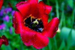 Tulipa Fotos de Stock