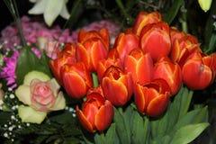 Tulipa Fotografia de Stock Royalty Free